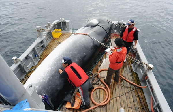 In this September 2013 photo, a minke whale is unloaded at a port after a whaling for scientific purposes in Kushiro, in the northernmost main island of Hokkaido. Japan says it is leaving the International Whaling Commission to resume commercial hunts but says it will no longer go to the Antarctic to hunt. (Kyodo News via AP)