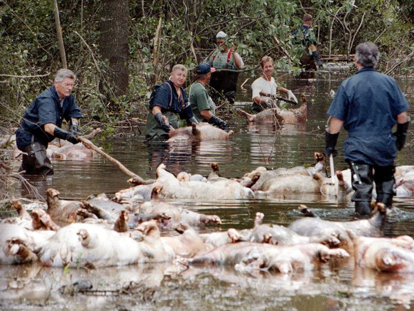 In this Sept. 24, 1999, file photo, employees of Murphy Family Farms along with friends and neighbors, float a group of dead pigs down a flooded road on Rabon Maready's farm near Beulaville, N.C. (AP Photo/Alan Marler, File)
