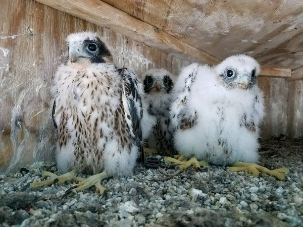 Three baby peregrine falcons recently hatched on the South Grand Island Bridge in Western New York. (NYS Thruway Authority)
