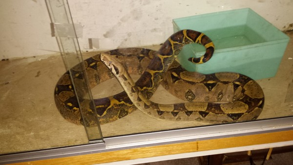 Missing pet boa constrictor in Binghamton has been found