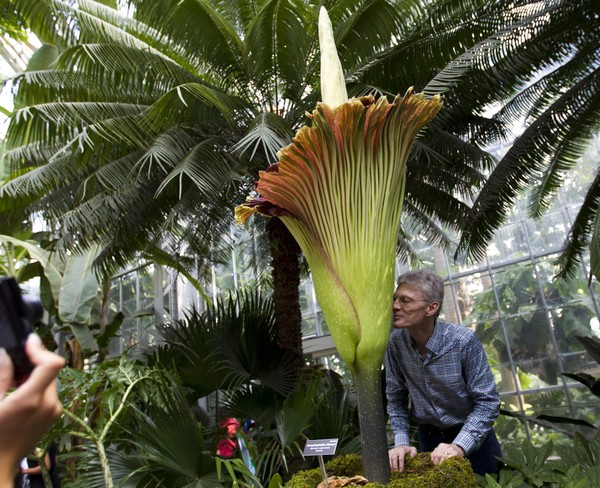 Perfumer Kent Lombardo smells the corpse flower or Amorphophallus titanum during the blooming at the U.S. Botanic Garden Conservatory in Washington, Tuesday, Aug. 2, 2016. This year, the corpse flower at Buffalo & Erie County Botanical Gardens is preparing to bloom again. (Jose Luis Magana | AP Photo)