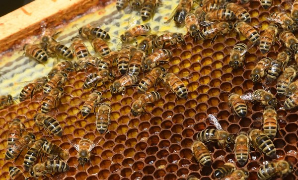 NY beekeepers abuzz on state's mandatory hive registration
