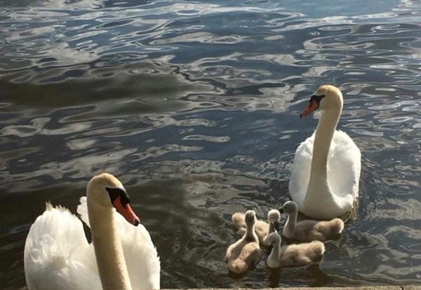 This mute swan family was killed late Monday morning on Oneida Lake by USDA officials.
