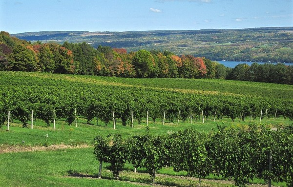 A view of vineyards on Seneca Lake. State environmental official have rejected plans for liquid gas storage along the lake shore.(Lauren Long)