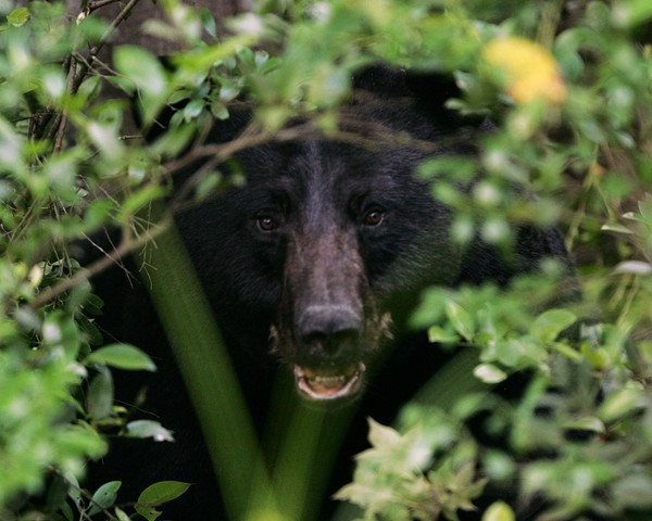 A black bear.(Special to NYup.com)