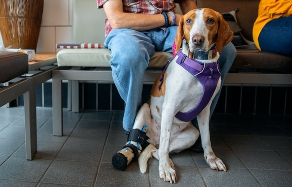 Sadie, an American foxhound, went missing from a hunt club on the West Virginia border in 2014. The dog, who lost her paw in a trap, was located 400 miles away in Upstate New York. (Provided photo)