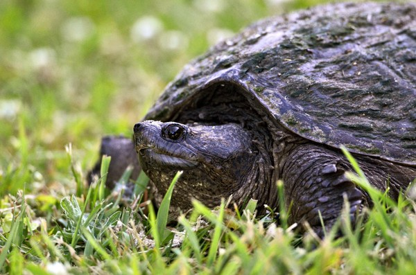 A snapping turtle on a path at the Sterling Nature Center in Cayuga County.