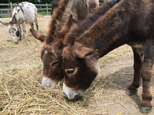 In this July 30, 2018 photo, miniature donkeys eat hay at Donkey Park in Ulster Park, N.Y. Retired IBM software engineer Steve Stiert offers free donkey-assisted therapy programs and educational events as part of his mission to protect donkeys from mistreatment and neglect. Stiert hopes the park will help spread the word about donkey's virtues as peaceful stress-relieving animals.  (AP Photo/Mary Esch)