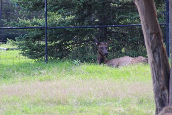 A female elk at Thompson Park Zoo in Watertown, N.Y.
