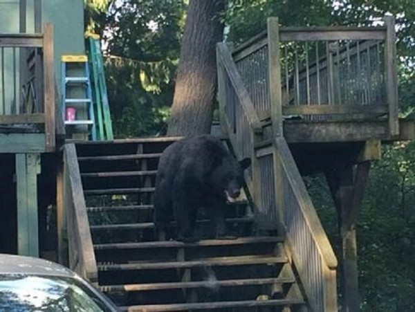 One of the bears reluctantly leaves the woman's back porch. (NYS DEC)