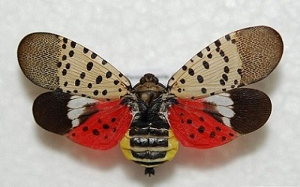 A spotted lanternfly ( Lawrence Barringer, Pennsylvania Department of Agriculture, bugwood.org)