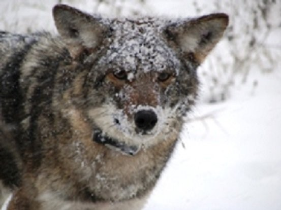 An Eastern coyote radio-collared by researchers at DEC and SUNY ESF (NYS DEC)
