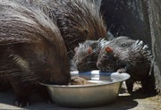 New porcupine babies born at Utica Zoo are seriously cute (video)