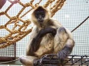 43-year-old monkey named Spiderman dies at Upstate NY zoo