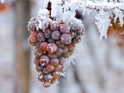 Ice or iced wine? Tradition vs. innovation in Upstate New York's vineyards