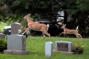 State survey asks NY residents about deer concerns