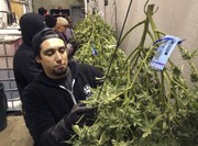 Poll: NY voters favor legalizing marijuana by almost 2-to-1 margin