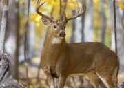DEC releases new plan to prevent spread of chronic wasting disease in deer, moose