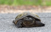DEC warns NY motorists: Be on lookout for turtles crossing roads this time of year