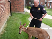 WATCH: Friendliest deer in Upstate NY lets police walk him on a leash like a pet dog