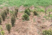Police searching for tree thief who snatched 130 saplings in Upstate NY