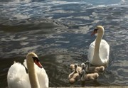 Killing of beloved Oneida Lake mute swan family outrages residents