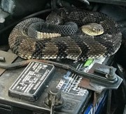 Rattled Upstate NY car owner calls DEC after finding timber rattlesnake on engine