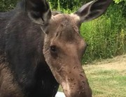 Adirondack moose encounter: 'It got so close I could have touched it' (video)