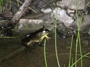 What you need to know about hunting bullfrogs in Upstate NY (video)