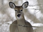 Bowhunters on Binghamton University campus can kill up to 50 deer in 'controlled hunt'