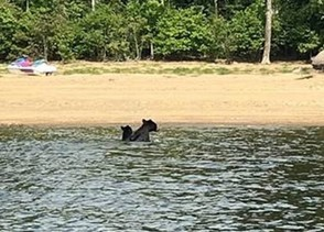 A mother bear with its cub arrive on the shore of Great Sacandaga Lake in late August after being shepherded there by two DEC conservation officers in their boat.