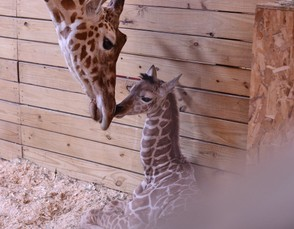 April the giraffe and her calf are seen at the Animal Adventure Park in Harpursville in a file photo.