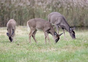 The DEC issues a certain amount of deer management permits (DMPs) in each wildlife management area to keep the herd numbers down.