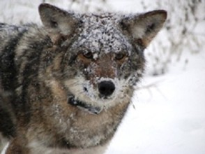 An Eastern coyote radio-collared by researchers at DEC and SUNY ESF
