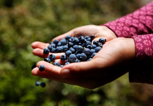 A single cup of blueberries offers 25 percent of the daily value, or recommended intake, for vitamin C, 25 percent for manganese and 36 percent of recommended vitamin K. (AP Photo/Robert F. Bukaty, File)