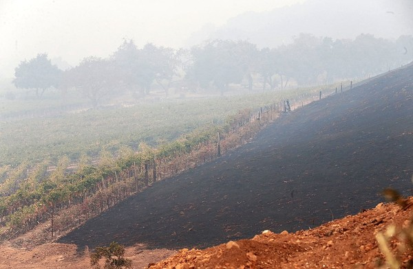 In this Tuesday, Oct. 10, 2017 photo, scorched land sits next to grape vines at the destroyed Signorello Vineyards in Napa, Calif. The fire destroyed many homes and businesses, including several wineries. (Jane Tyska/East Bay Times via AP)