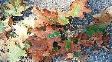 These leaves are from an oak tree infected by oak wilt. A new outbreak of the oak-killing fungus has been confirmed in the Schenectady County town of Glenville. (Department of Environmental Conservation.)