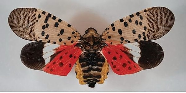 The spotted lanternfly, an invasive pest from Asia that can damage grapes and apples, has been spotted for the first time in New York state. (U.S. Department of Agriculture)(Special to NYUP.com)