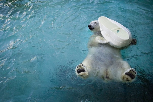 FILE - In this Jan. 16, 2008, file photo, a female polar bear named Coldilocks plays with a container at the Philadelphia Zoo in Philadelphia.