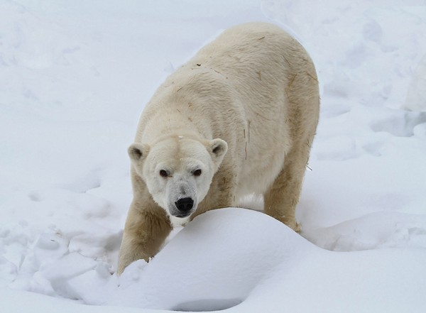 In this Jan. 2018 photo provided by the Seneca Park Zoo Society, polar bear Aurora is seen in the snow at the Seneca Park Zoo in Rochester, New York.