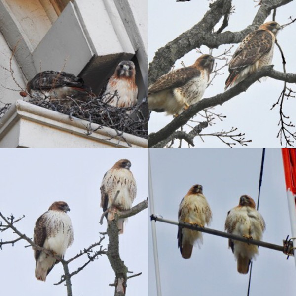 Red-tailed hawk mates Otto and Sue-SU are regular fixtures around the Syracuse University campus, perching on a light pole outside Watson Hall, hanging out in trees in Oakwood Cemetery and visiting the radio tower atop Day Hall.