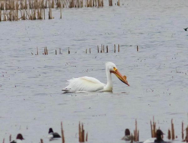 An American white pelican at the Montezuma National Wildlife Refuge.  Joseph Karpinski photo