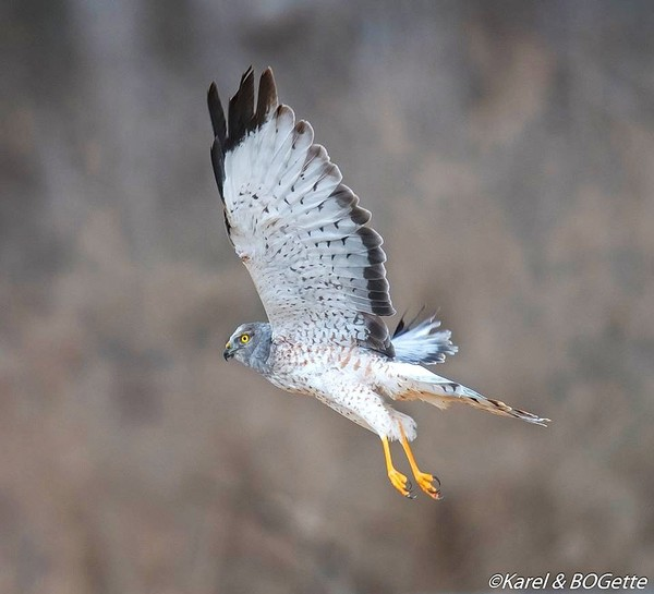 A northern harrier that was rescued from Syracuse University was released on Easter Sunday at Montezuma Wildlife Refuge.(Submitted photo by Cindy Sedlacek)