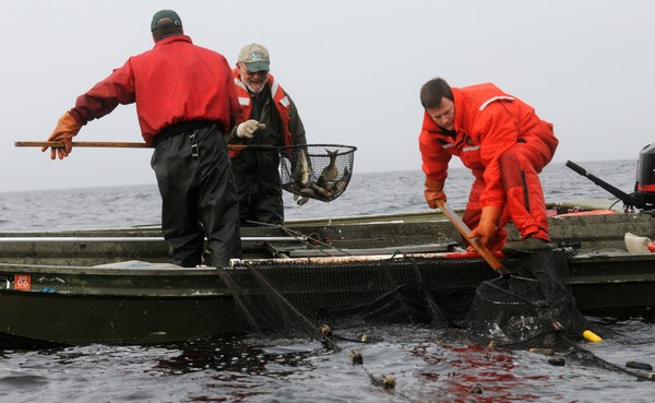 DEC workers net live walleye on Oneida Lake fish from nets anchored to the bottom of Oneida Lake near the DEC hatchery in Constantia. (Mike Greenlar / The Post Standard.)