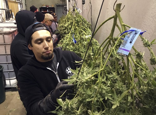 Anthony Uribes processes a marijuana plant with an attached tracking label at Avitas marijuana production facility in Salem, Ore.  Oregon is one of eight states along with the District of Columbia to legalize marijuana for recreational use. (AP Photo/Andrew Selsky)