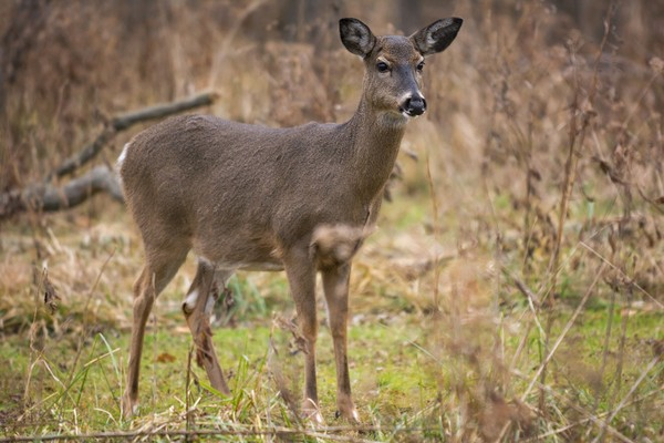 A white-tailed deer doe stands alert in the woods.