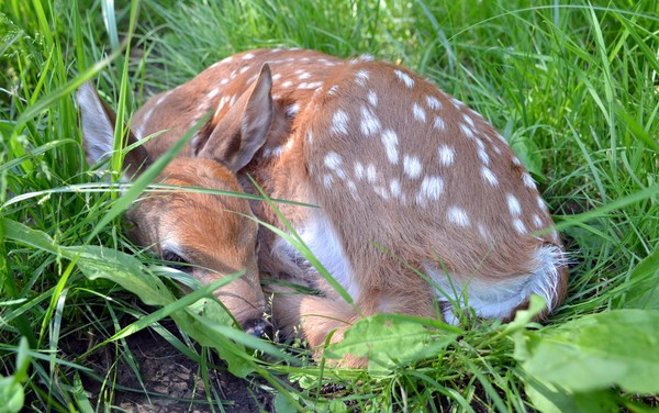 A newborn whited-tail deer fawn lies in shaded grass.