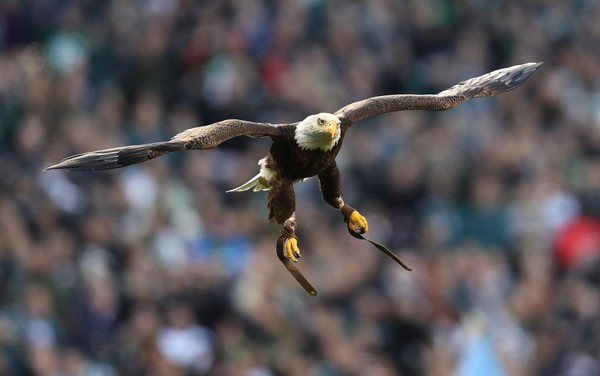 photograph regarding Philadelphia Eagles Printable Schedule titled Tremendous Bowl 2018: Will Challenger the Bald Eagle be at the