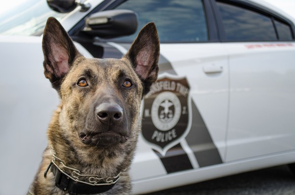Jax, a Dutch shepherd/Belgian Malinois mix, was welcomed within the Mansfield Township police department as part of its K-9 unit in 2016. (Courtesy photo)