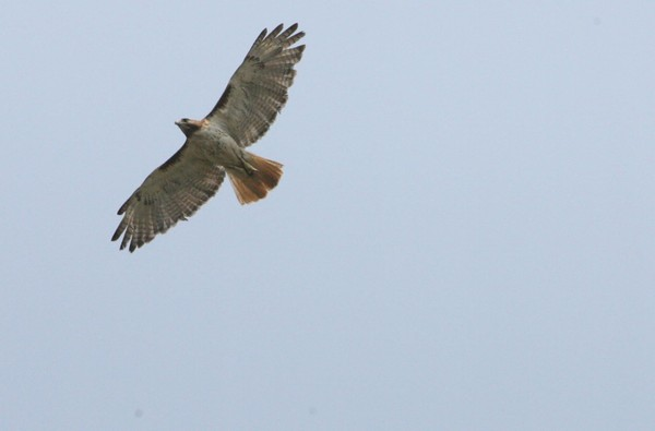 A red-tailed hawk soars over a field in Pilesgrove, Salem County.